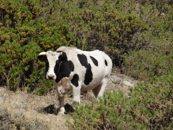 Yerba Loca Cow